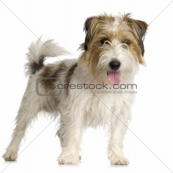 Long+hair+jack+russell+terrier+pictures