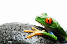 Red-eyed tree frog, macro, isolated over white