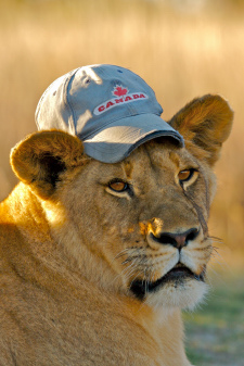 Lioness with hat