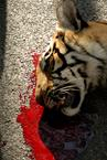 the tigress is dead...
