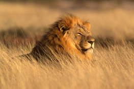 A supremely confident lion male