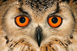 Captivating orange owl-eyes