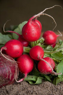 Still life of radishes