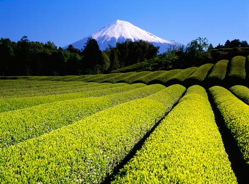 Green tea Fields VII