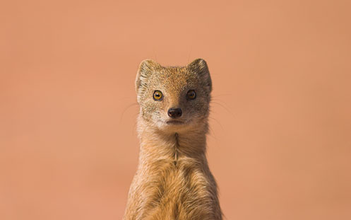 Image: Yellow Mongoose