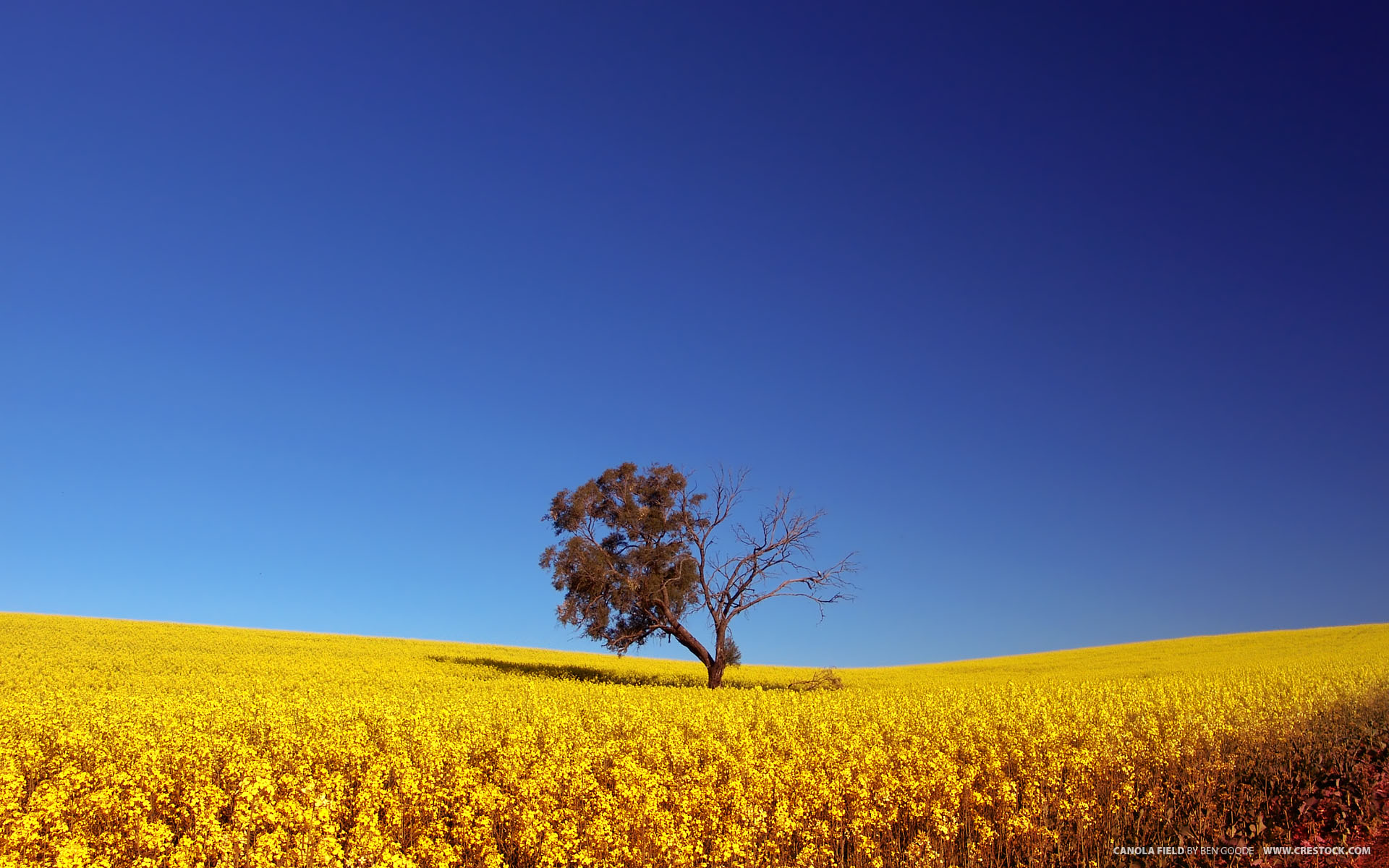 Canola Field wallpaper - 363